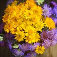 Bouquet of wildflowers (Anthemis tinctoria and Knautia arvensis)