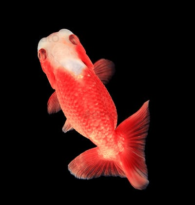Ranchu Lion Head goldfish on black background