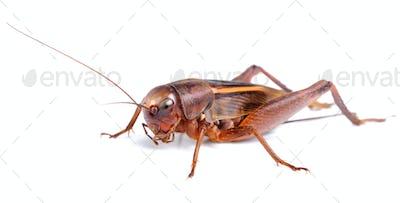 black cricket isolated on white background