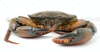 sea crab isolated on white background