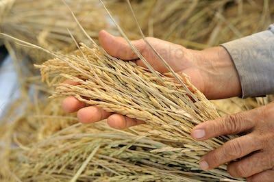 farmer hand holding Jasmine rice.