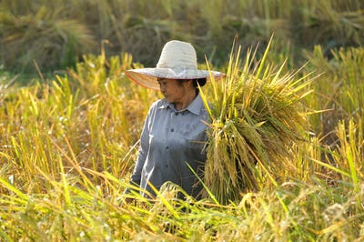 farmers harvesting rice in rice field in Thailand