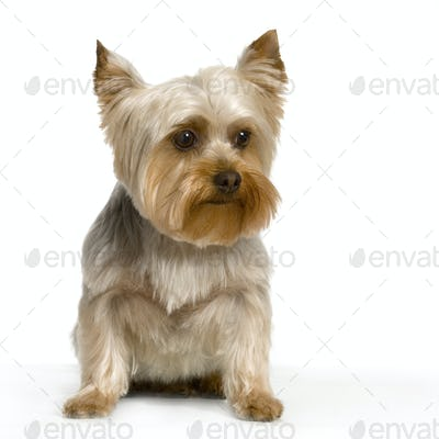 Portrait of yorkshire Sitting in front of white background