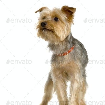 Portrait of yorkshire in front of white background