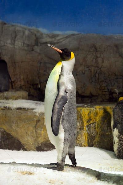 Penguin standing on Ice