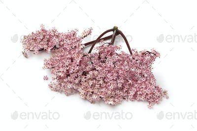 Twig of pink elderberry blossom