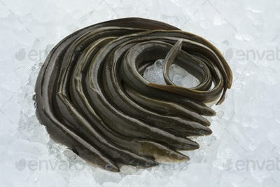 Fresh raw eels on ice