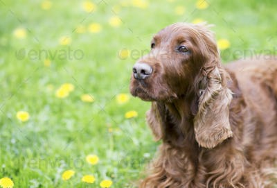 Dog training concept - clever dog looking to his owner