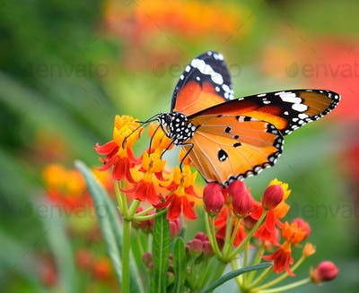 Butterfly on orange flower