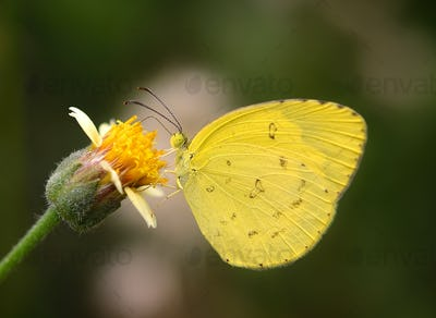 yellow Butterfly on  flower