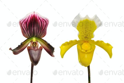 Orchid flower on white background.