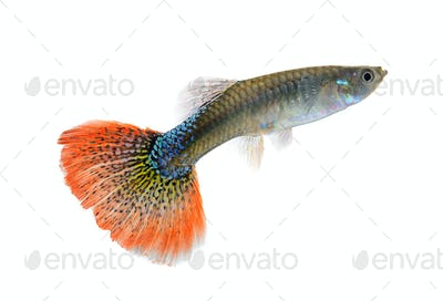 Female guppy isolated on white background