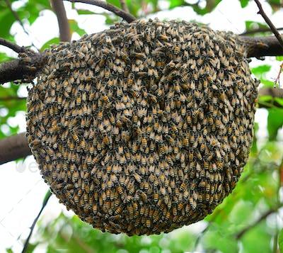 Big swarm bee on tree