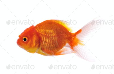 gold fish isolated on white background