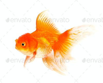 Orange Goldfish Isolated on White Background