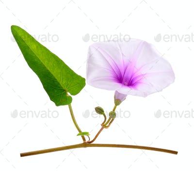 Morning Glory Flowers Isolated on White Background