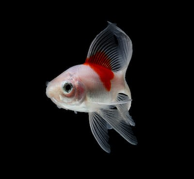 Comet Goldfish Isolated on black  Background