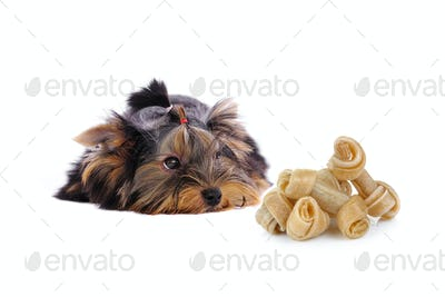 Yorkshire Terrier and Artificial a bone on white background