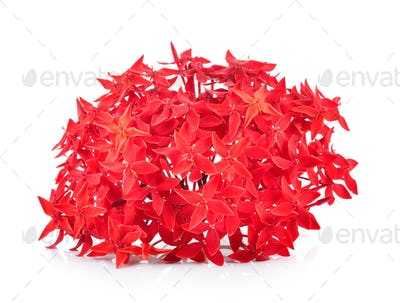 Red ixora over white background