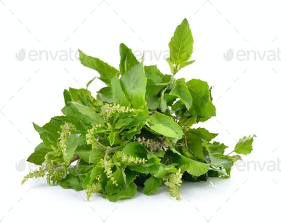 Holy basil or tulsi leaves isolated on white background