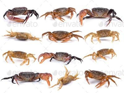 set of crab on white background