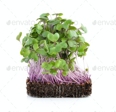 young kale sprout on white background