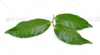 tea leaf on white background