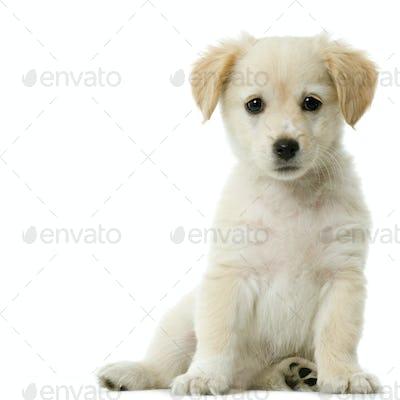 Labrador retriever cream