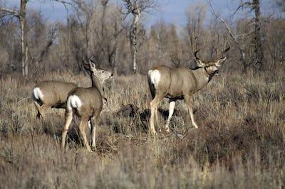 A Wyoming Mule Deer Buck Male Keeps an Eye Out For Danger