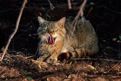 wild cat in natural habitat