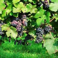 Blue grape branchs closeup