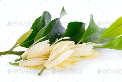 White Champaka on white background