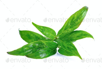 Andrographis paniculata plant on white background