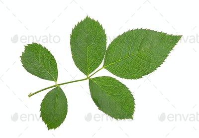 rose leaves on white background
