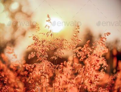 Grass flower on the sunset.