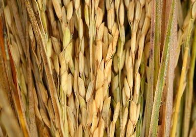 paddy seeds rice