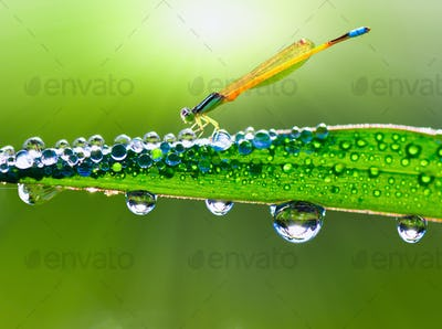 dragonfly on a stalk covered with dew in morning