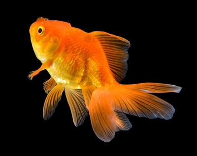 gold fish on black