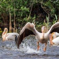 white pelican in Danube Delta, Romania