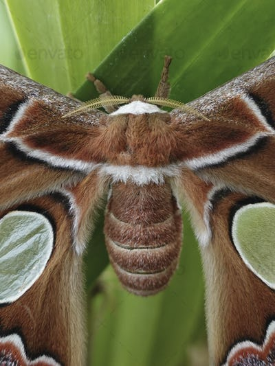 Windowed moth (Rothschildia lebeau)