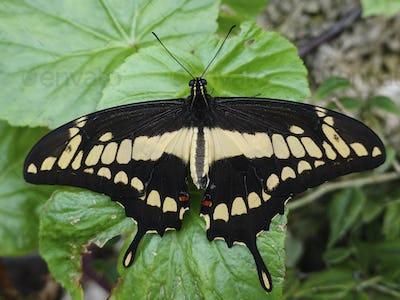 King swallowtail (Papilio thoas)