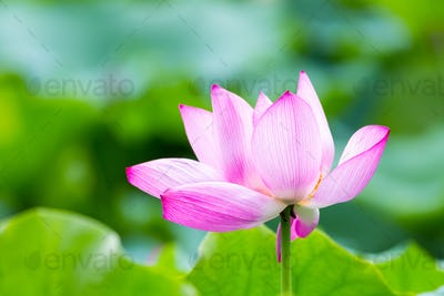 lotus flower in full bloom in summer, beautiful natural scene