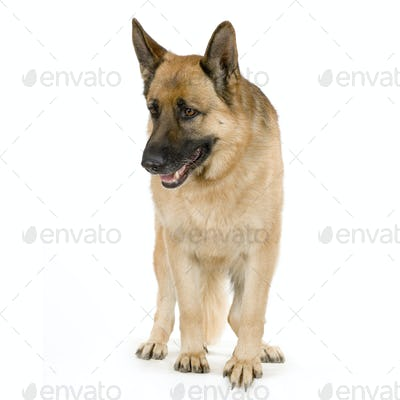 german shepherd / alsatian, police dog