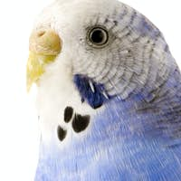 blue and white budgie