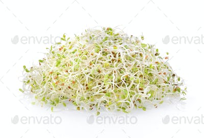 Alfalfa Sprout on white background