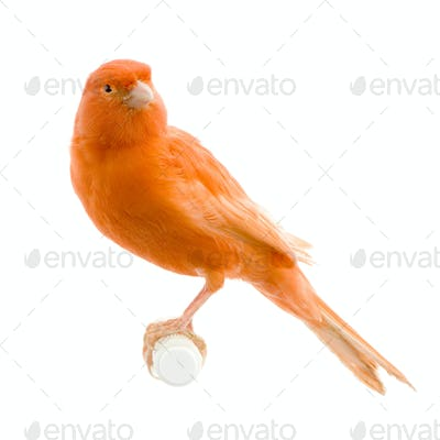 Red canary on its perch