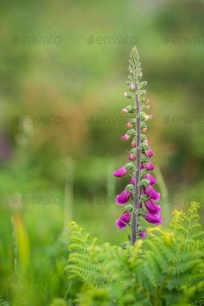 Foxglove flower growing on a meadow