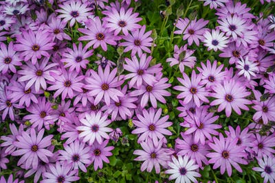 Beautiful violet daisy flowers in spring