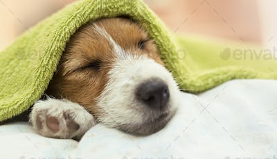 Dog grooming - Jack Russell puppy dog sleeping after bath