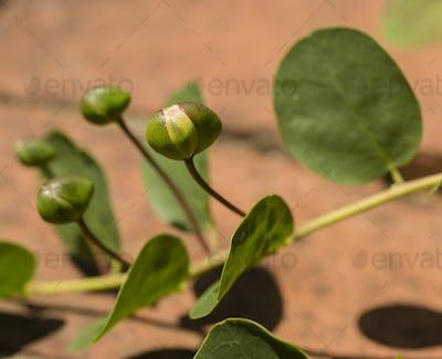 Fresh buds of caper